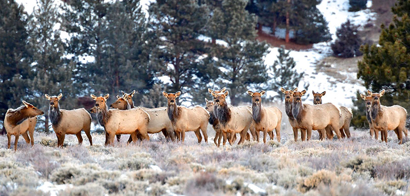 Wyoming Elk 2020 - Nonresident Antlerless Opportunities